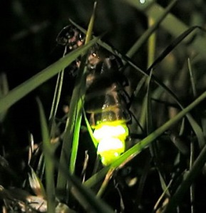 Female Glow Worm, UK, by Timo Newton-Syms, Wikipedia Commons