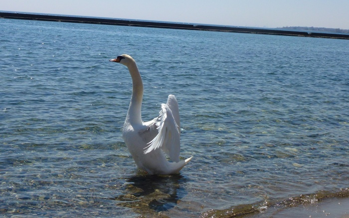 Swan at Sunnside Beach